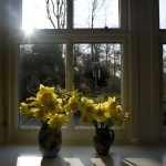 Spring daffodils in a windowsill
